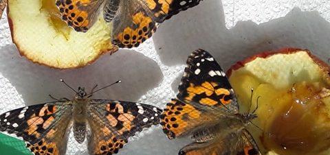 2b klasėje gyvena drugeliai