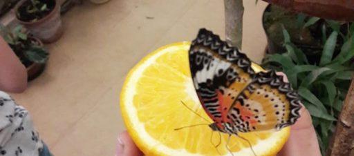 Tropinių drugelių parodoje